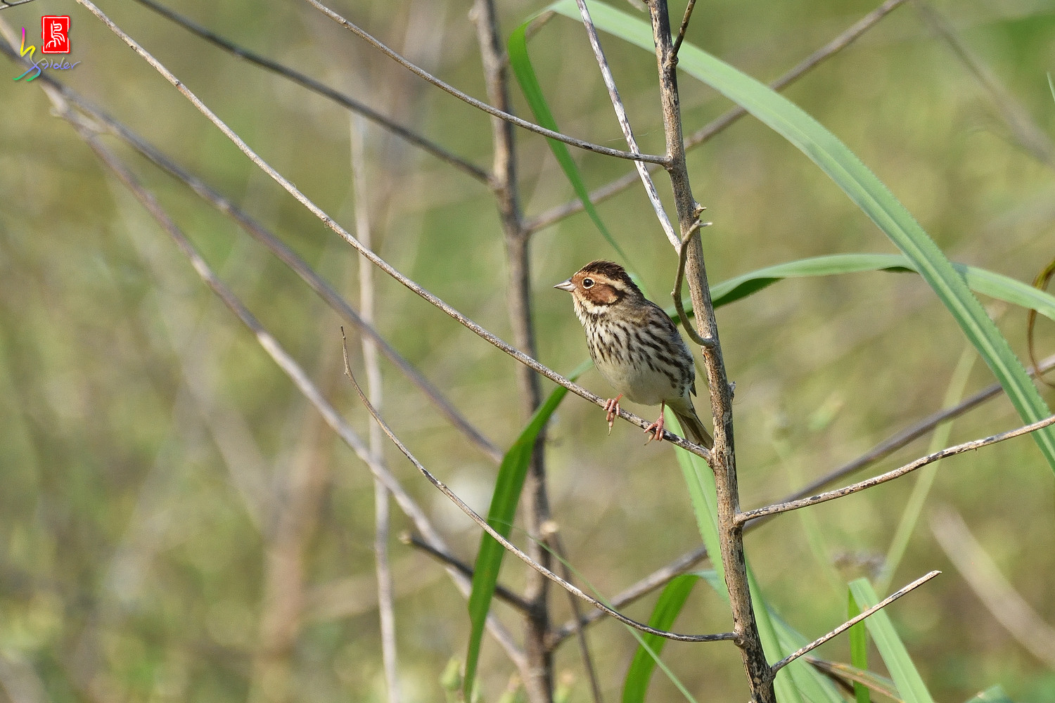 Little_Bunting_8055