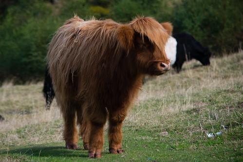 Bullock grazing, Malvern slope