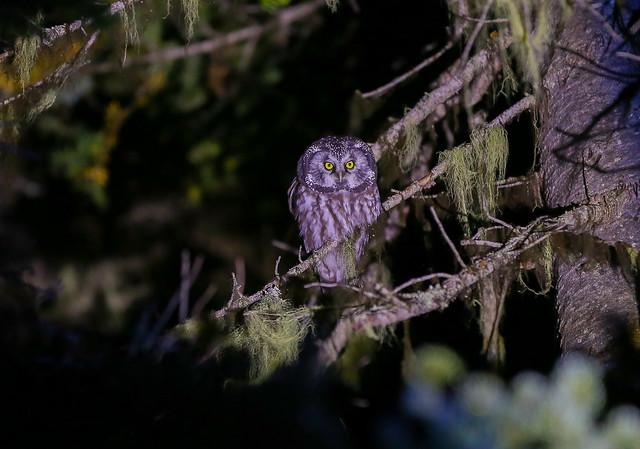 Boreal Owl (371) Adult