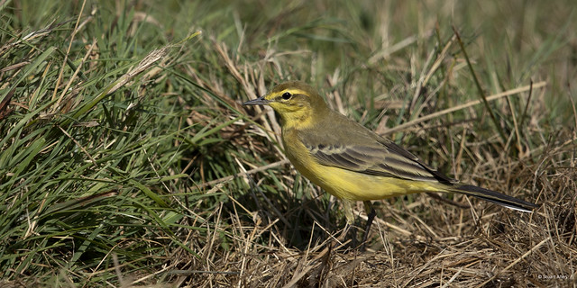 Yellow Wagtail_B9A1152