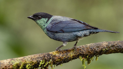 ♂️ Tangara heinei (Black-capped Tanager / Tangara capirotada) | by PriscillaBurcher