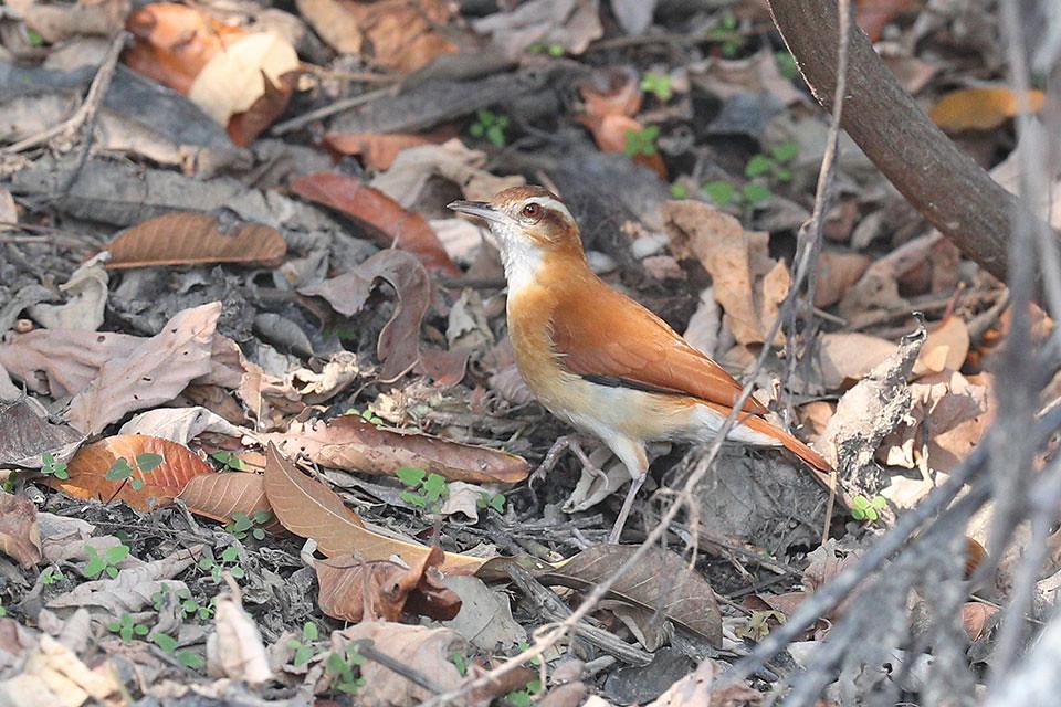 Pale legged Hornero-Furnarius leucopus