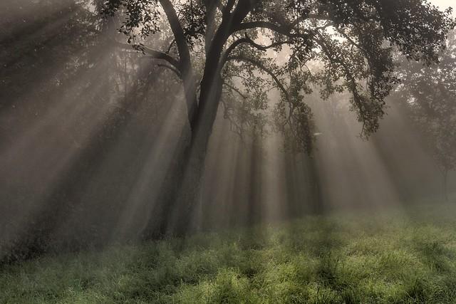 *orchard @ light/fog*