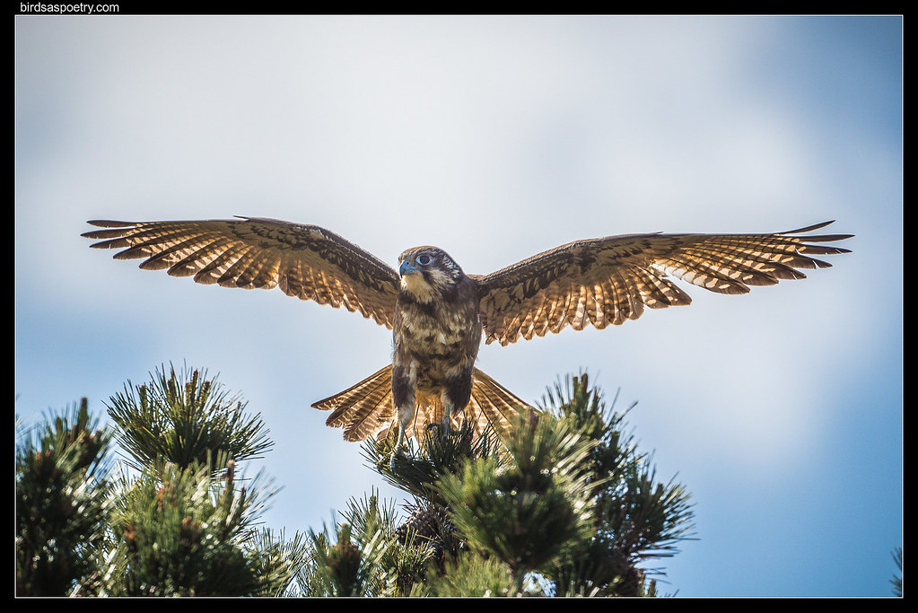 """Brown Falcon: """"Don't track muddy footprints on my territory"""""""