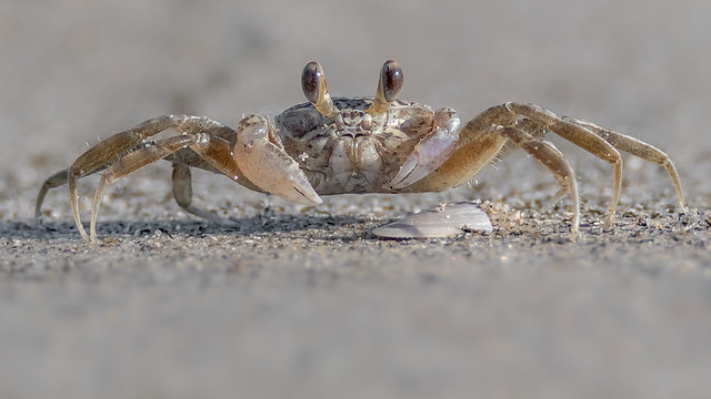 Ghost Crab (baby)