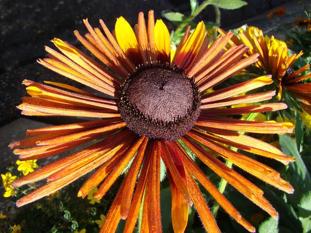 Rudbeckia bru a fins petales - DAX.