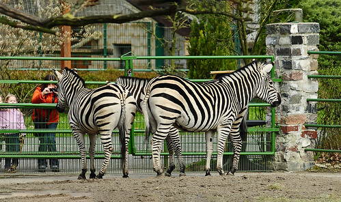 nature animals animalpark mammals hoofedanimal equineanimals zebra zoo germany westfalen hamm