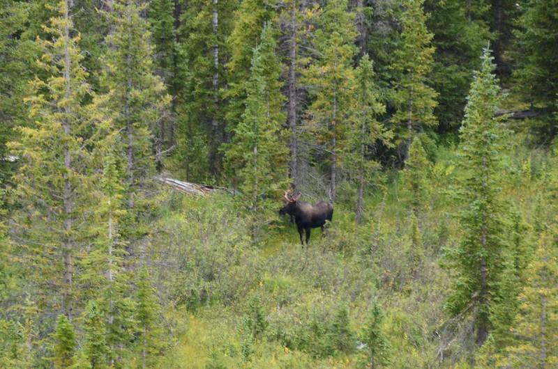 Moose (1)