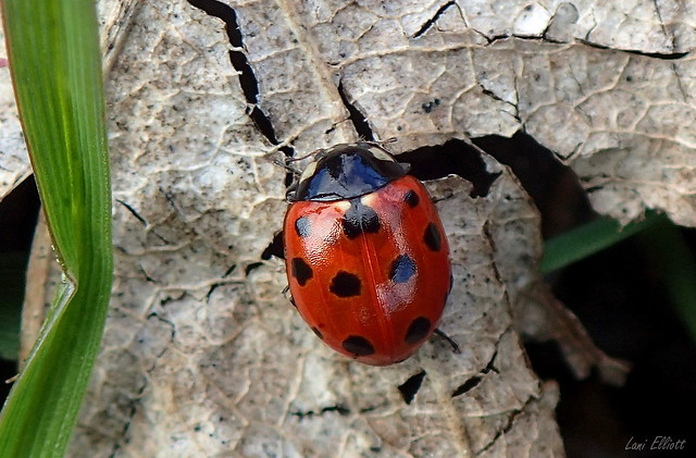 Tiny Eleven Spotted Ladybird