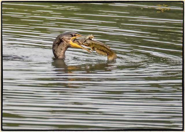 Cormorant's Big Gulp