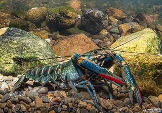 Redclaw Crayfish (Cherax quadricarinatus) male North Pine Dam Queensland Australia.