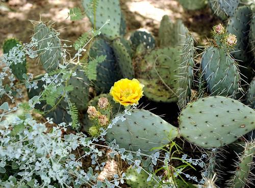 phoenix az usa cactus flower nikonhb40bayonetlenshood bwfpro77mm010uvhaze1xfilter nikonafsnikkor2470mmf28gedlens nikond3 nikon