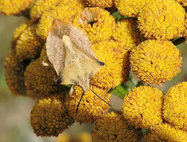 Lomnice - Carpocoris fuscispinus/Kněžice rohatá DSCN8105