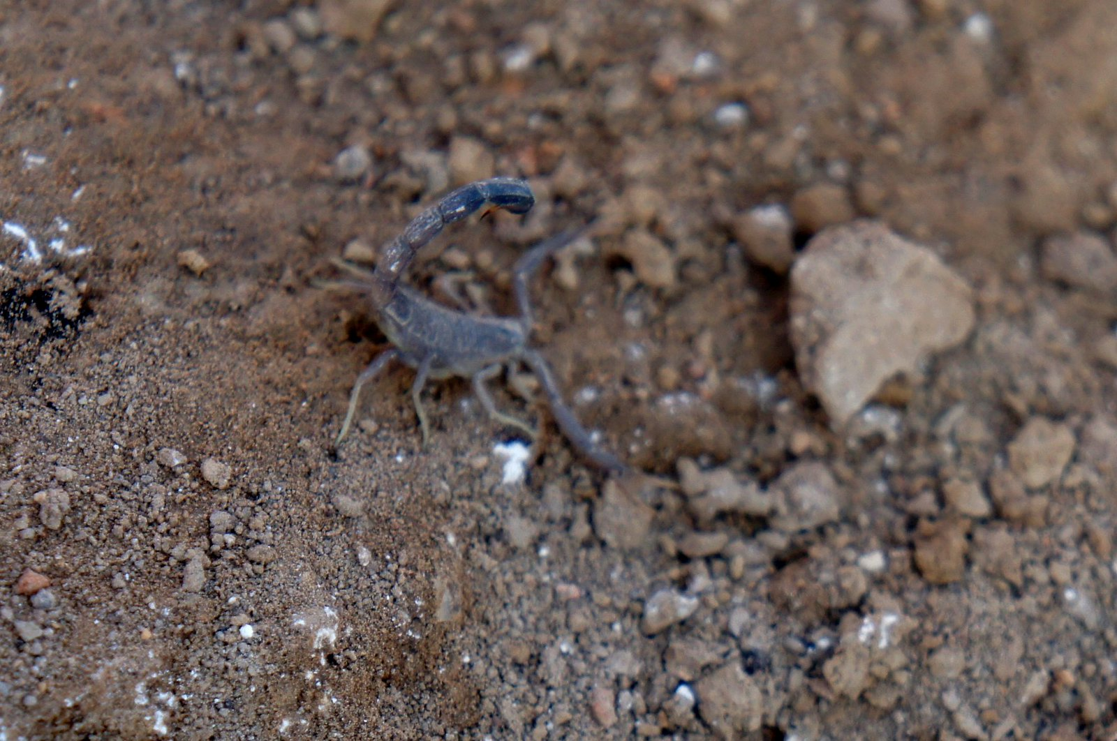 A little wildlife: baby scorpion.
