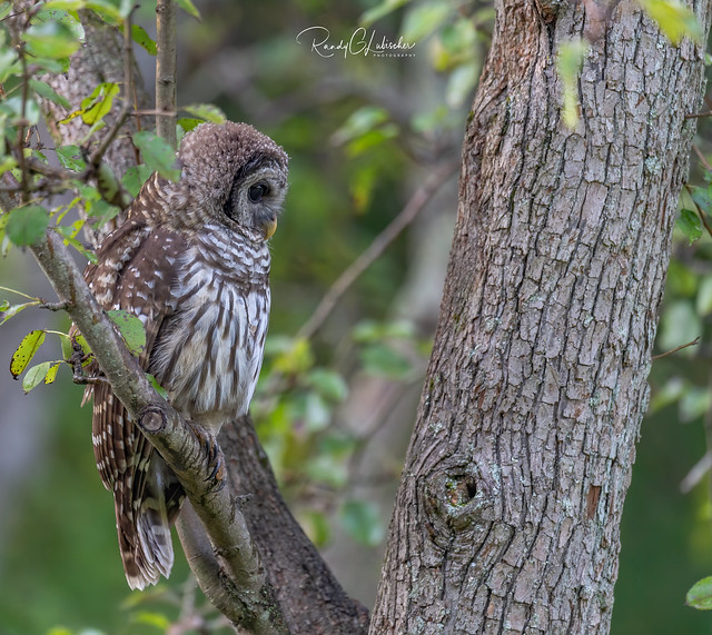 Barred Owl - Strix varia | 2019 - 31