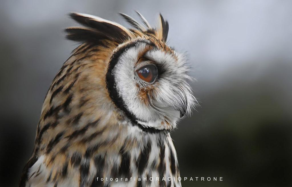 Lechuzon Orejudo Asio Clamator O Pseudoscops Clamator Striped Owl Toma Reserva Eco Parque Argentina A Photo On Flickriver