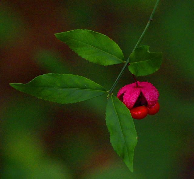 Hearts A'busting; Strawberry Bush