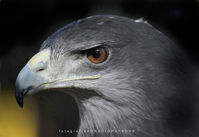- AGUILA MORA (Geranoaetus melanoleucus - Black-Chested Buzzard-Eagle).toma Reserva Eco Parque .Argentina.