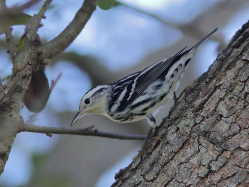 Black-and-White Warbler 05-20190911