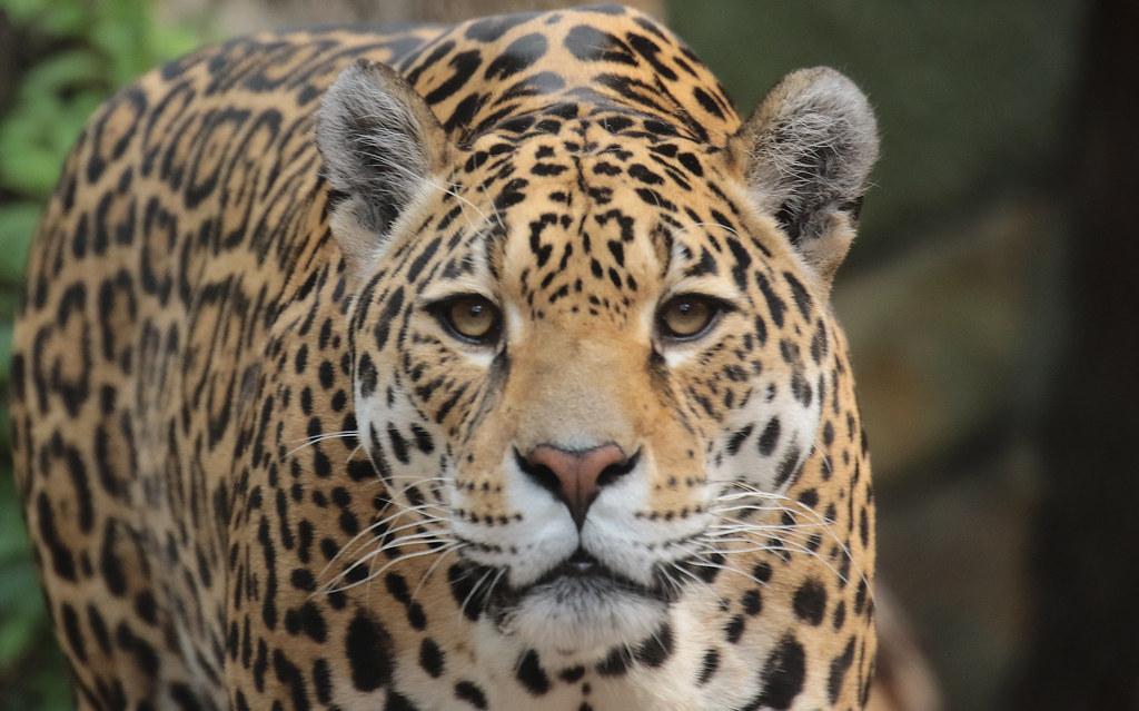 Jaguar rica artis 094A0198