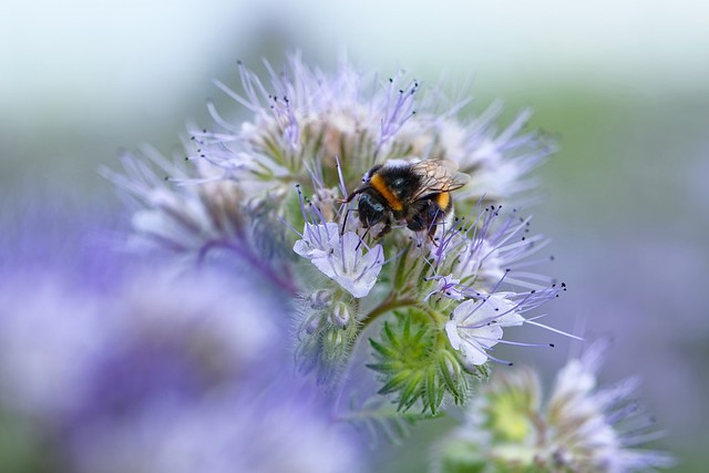 Always Busy   Bumble Bee