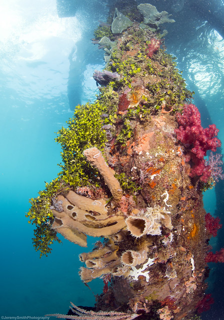 Coral covered pillar. Can you spot the Frogfish? Bakalan Jetty, Alor, Indonesia