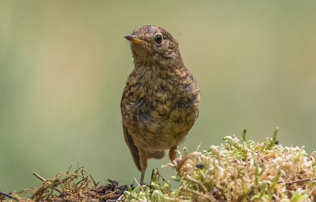 Vörösbegy (Erithacus rubecula / Young Robin)