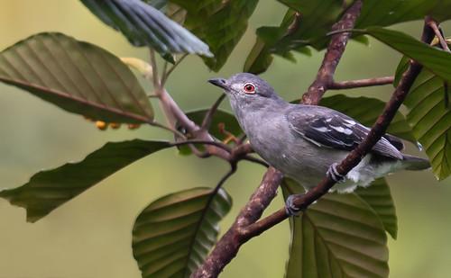 Carpodectes hopkei - Black-tipped Cotinga - Cotinga Blanca female 06