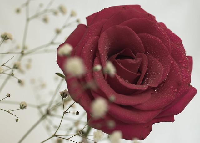 Wed, 11/09/2019 - 09:13 - Rose and Gypsophila