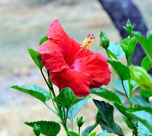 DSC_0639e ~ Hibiscus Rosa