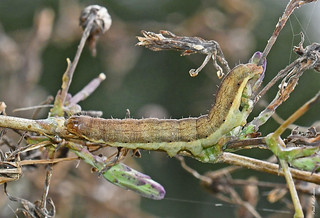 2165 Small Ranunculus (Hecatera dysodea) late instar larva on Prickly Lettuce