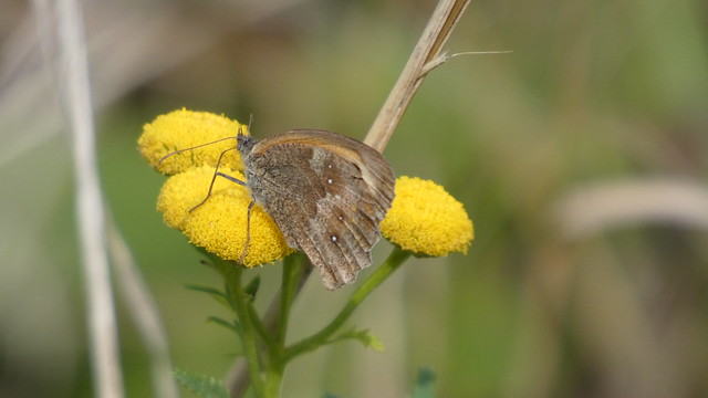 Butterfly on tansy