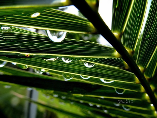 Palm umbrella.....Macro shot taken from under the palm right after the rain. Love it how you can see the surrounding trees in the drops. The diffusion of the lines from the palm leaves in the drops makes for an alluring scene !!