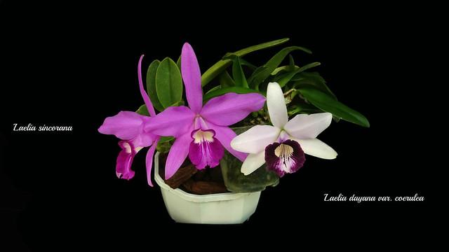 Laelia sincorana - Laelia dayana var. coerulea
