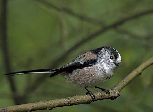 Long tailed tit 3 10 Sept 19