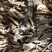 Long-tailed Nightjar (Caprimulgus climacurus)