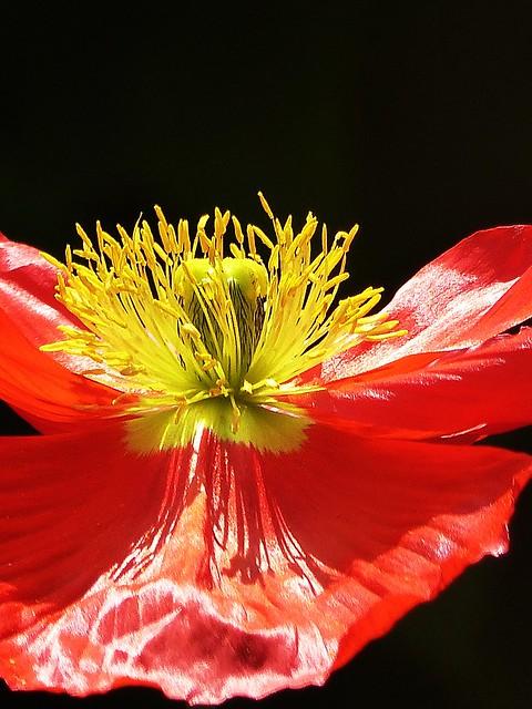 Poppy in the sunlight