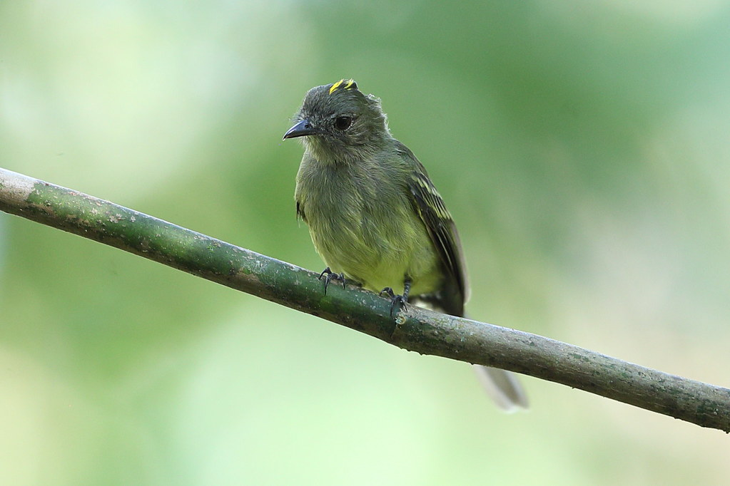 Yellow-crowned Elaenia
