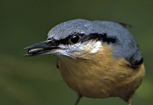 Nuthatch 1 10 Sept 19