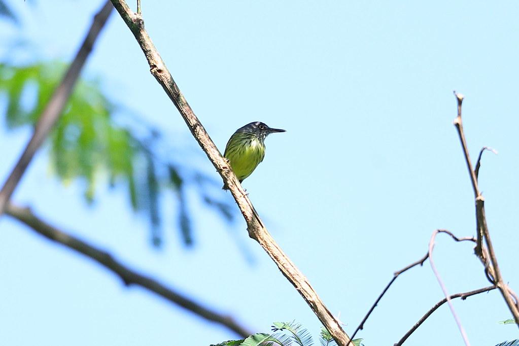 Spotted Tody-flycatcher