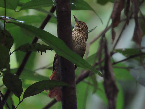 Speckled spinetail