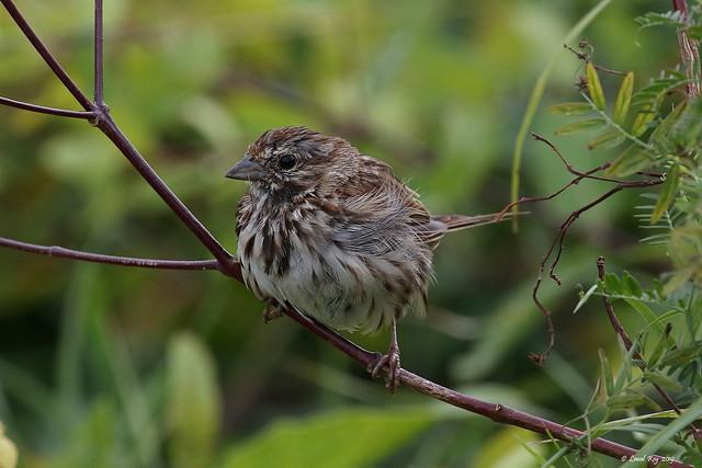 1.29681 Bruant chanteur (adulte) / Melospiza melodia melodia / Song Sparrow