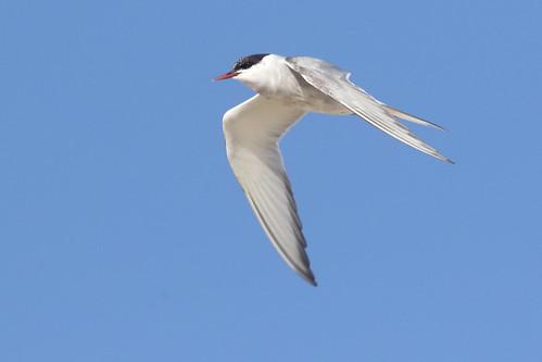Arctic Tern, Second Summer