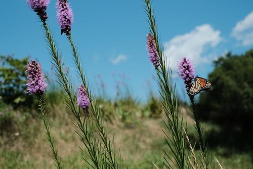 butterfly monarch nature landscape pastoral flowers wildflowers field colors natural fujfiilm fuji xpro2 xf35mm14 xf35mm rhode island d