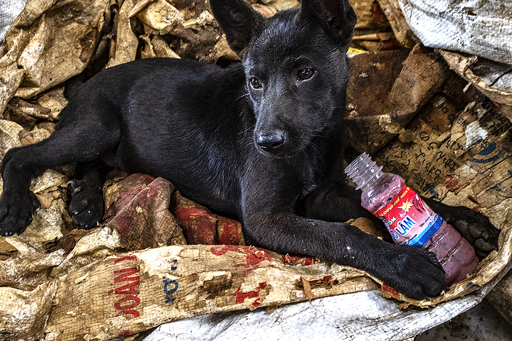 Puppy eating fermented shrimp paste found in garbage--Ea Kly