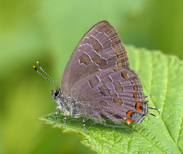 Striped Hairstreak - Satyrium liparops (Lycaenidae, Theclinae, Eumaeini) 119z-8032824