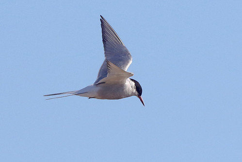 Arctic Tern, Adult