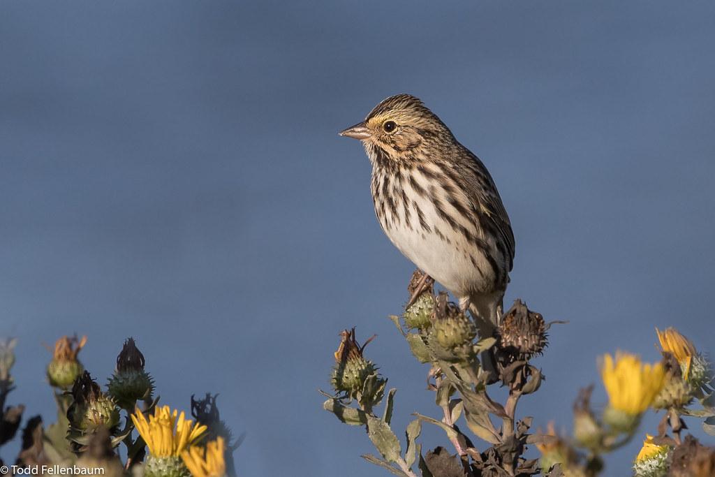 CA3I9976-Savannah Sparrow
