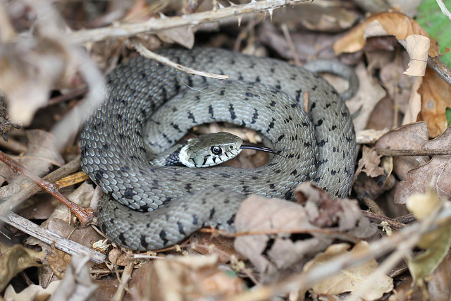 Grass snake captured in situ.