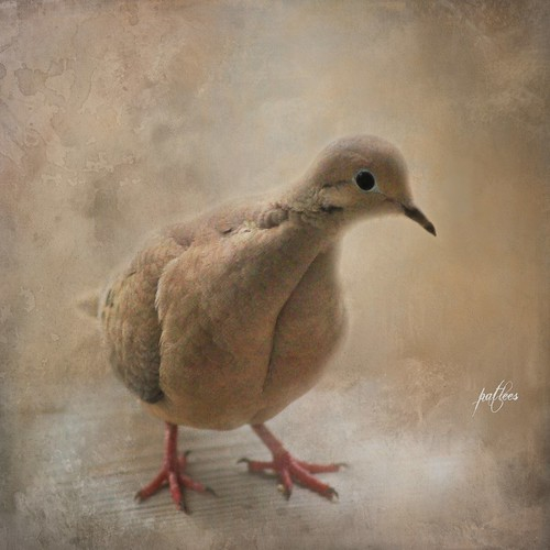 A Little Lonesome Dove...(Explored)